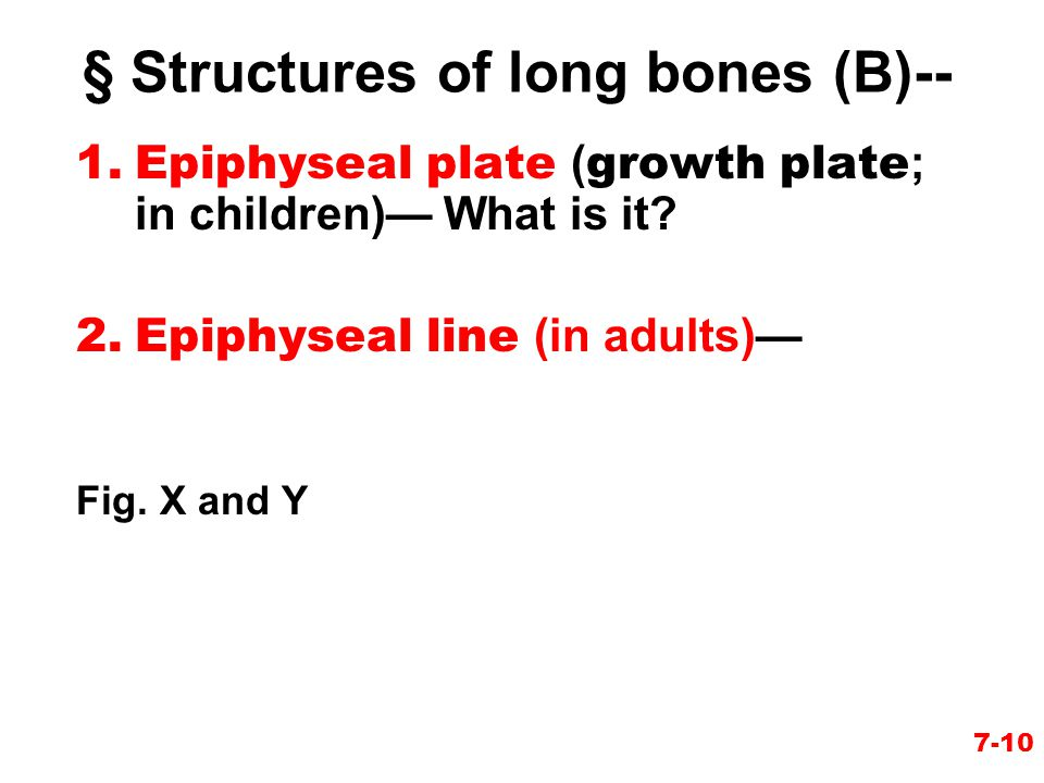 7-10 1.Epiphyseal plate ( growth plate ; in children)— What is it? 2.Epiphyseal line (in adults)— Fig. X and Y § Structures of long bones (B)--