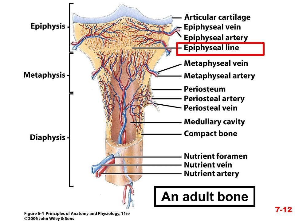 7-12 An adult bone