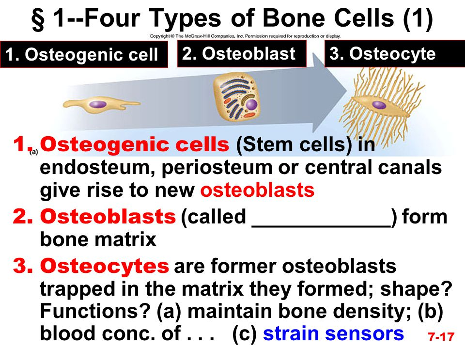 7-17 § 1--Four Types of Bone Cells (1) 1.Osteogenic cell 2.