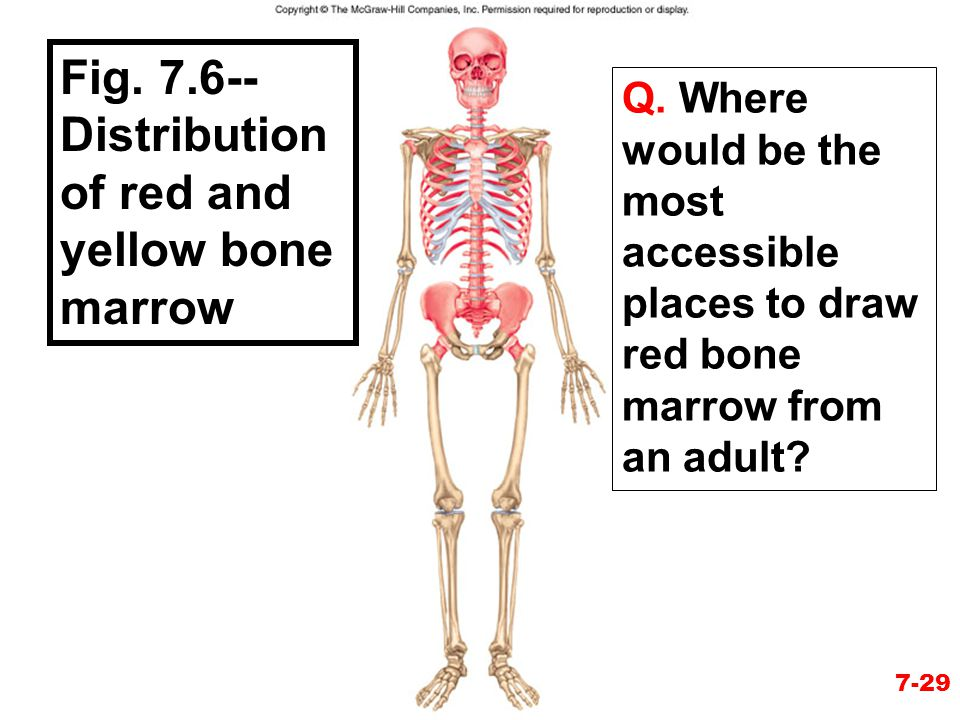 Figure 7.7 Fig. 7.6-- Distribution of red and yellow bone marrow Q. Where would be the most accessible places to draw red bone marrow from an adult? 7
