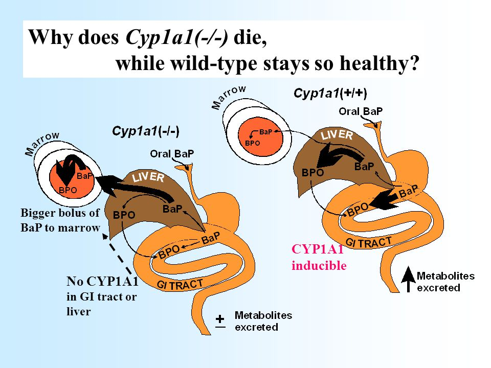 No CYP1A1 in GI tract or liver Bigger bolus of BaP to marrow Why does Cyp1a1(-/-) die, while wild-type stays so healthy? CYP1A1 inducible