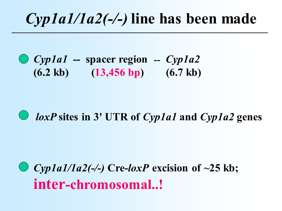 Cyp1a1/1a2(-/-) line has been made loxP sites in 3' UTR of Cyp1a1 and Cyp1a2 genes Cyp1a1 -- spacer region -- Cyp1a2 (6.2 kb) (13,456 bp) (6.7 kb) Cyp
