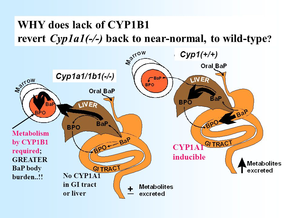 Metabolism by CYP1B1 required; GREATER BaP body burden..!! WHY does lack of CYP1B1 revert Cyp1a1(-/-) back to near-normal, to wild-type ? Cyp1a1/1b1(-