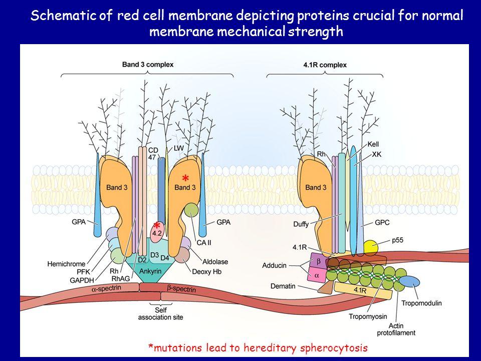 Erythropoiesis: Hemoglobin Switching (ALWAYS: 2 alpha & 2 beta-like [3 '  ' options]) EmbryoFetusBirth Adult 6 mo.