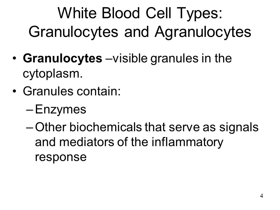 4 White Blood Cell Types: Granulocytes and Agranulocytes Granulocytes –visible granules in the cytoplasm.