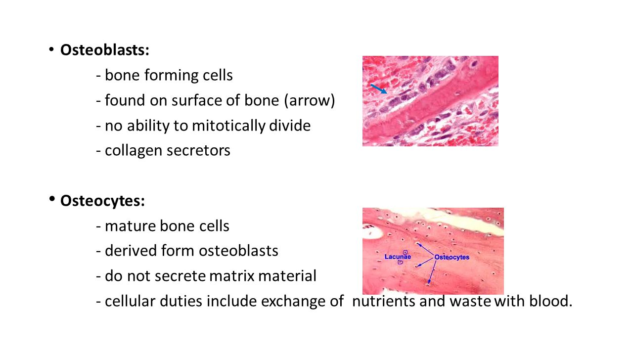 Osteoblasts: - bone forming cells - found on surface of bone (arrow) - no ability to mitotically divide - collagen secretors Osteocytes: - mature bone