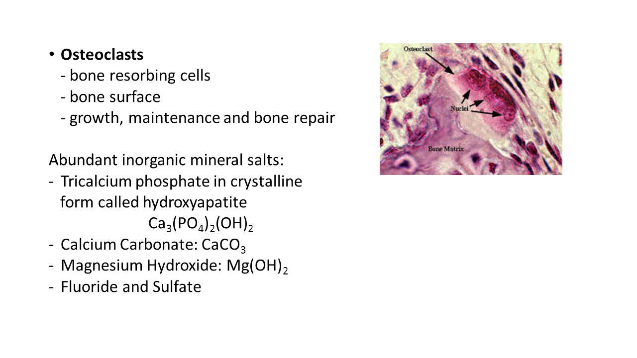 Osteoclasts - bone resorbing cells - bone surface - growth, maintenance and bone repair Abundant inorganic mineral salts: -Tricalcium phosphate in cry