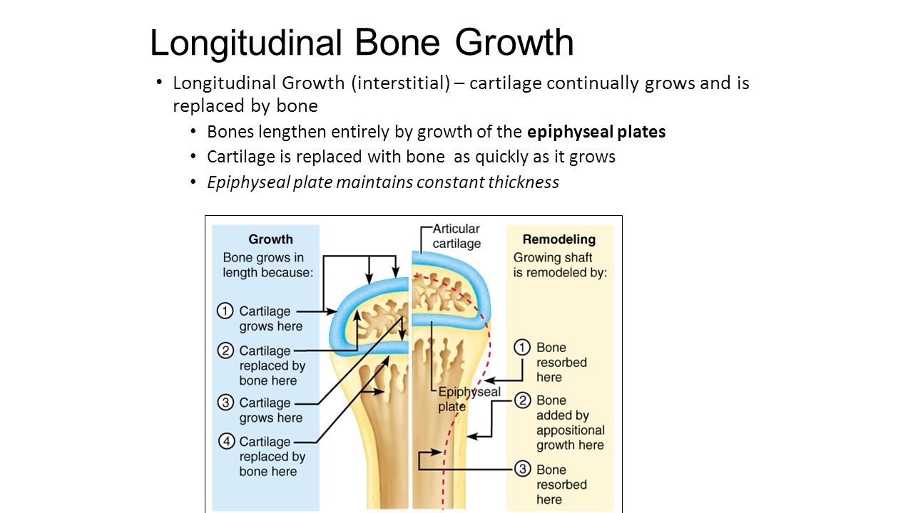 Longitudinal Bone Growth Longitudinal Growth (interstitial) – cartilage continually grows and is replaced by bone Bones lengthen entirely by growth of