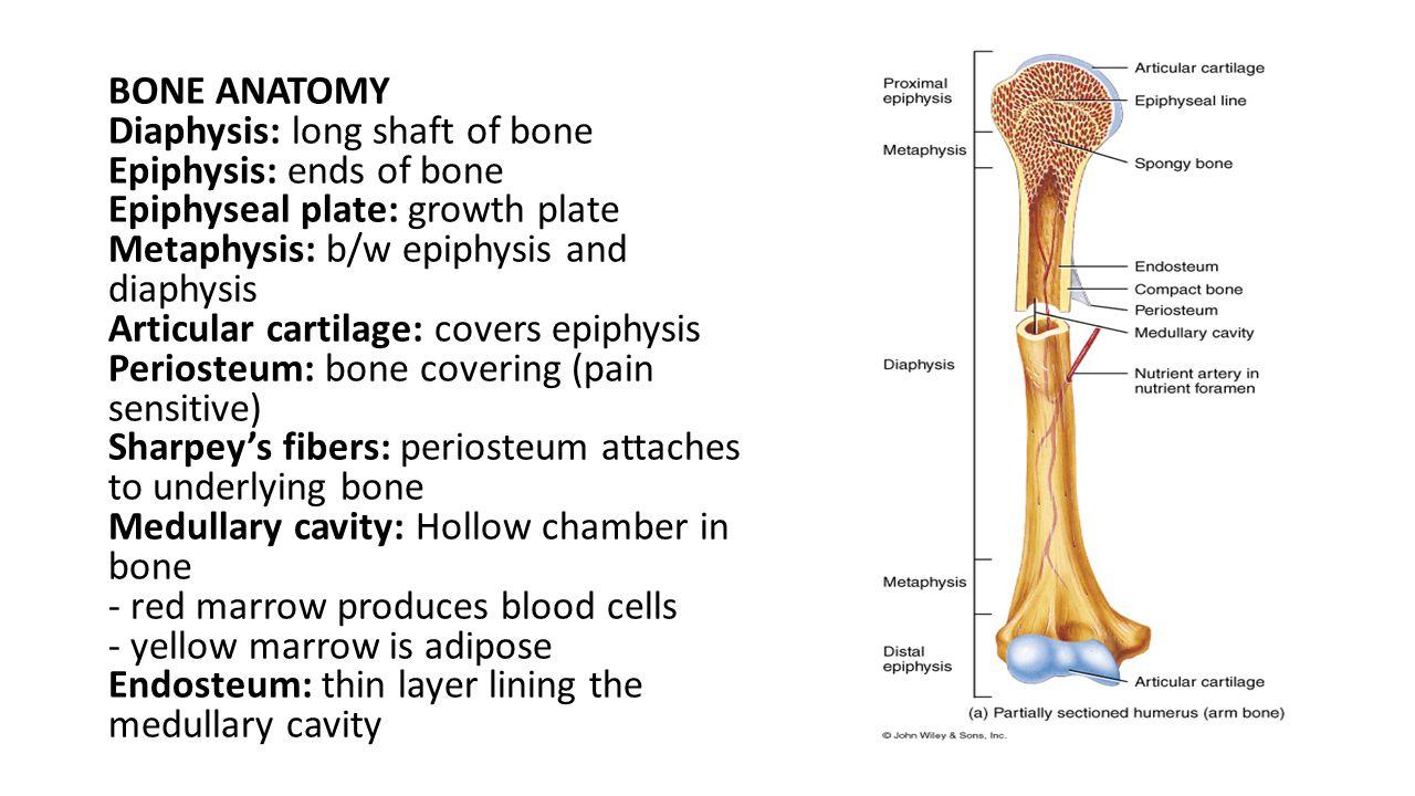 BONE ANATOMY Diaphysis: long shaft of bone Epiphysis: ends of bone Epiphyseal plate: growth plate Metaphysis: b/w epiphysis and diaphysis Articular ca