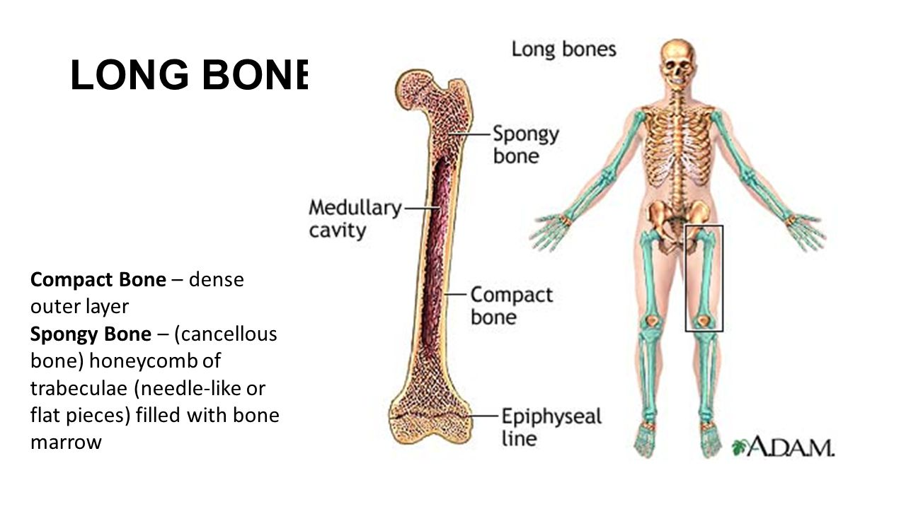 LONG BONES Compact Bone – dense outer layer Spongy Bone – (cancellous bone) honeycomb of trabeculae (needle-like or flat pieces) filled with bone marr