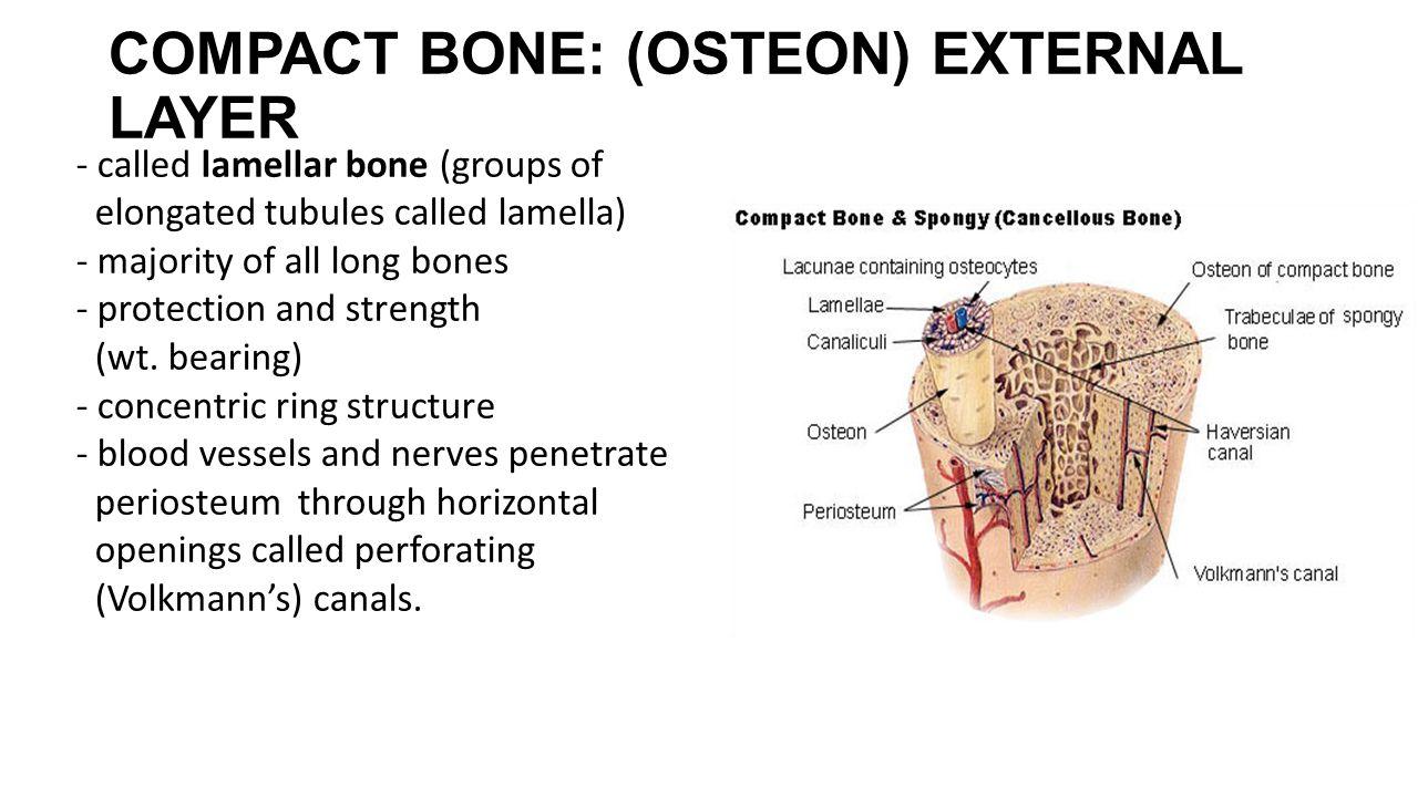 COMPACT BONE: (OSTEON) EXTERNAL LAYER - called lamellar bone (groups of elongated tubules called lamella) - majority of all long bones - protection an