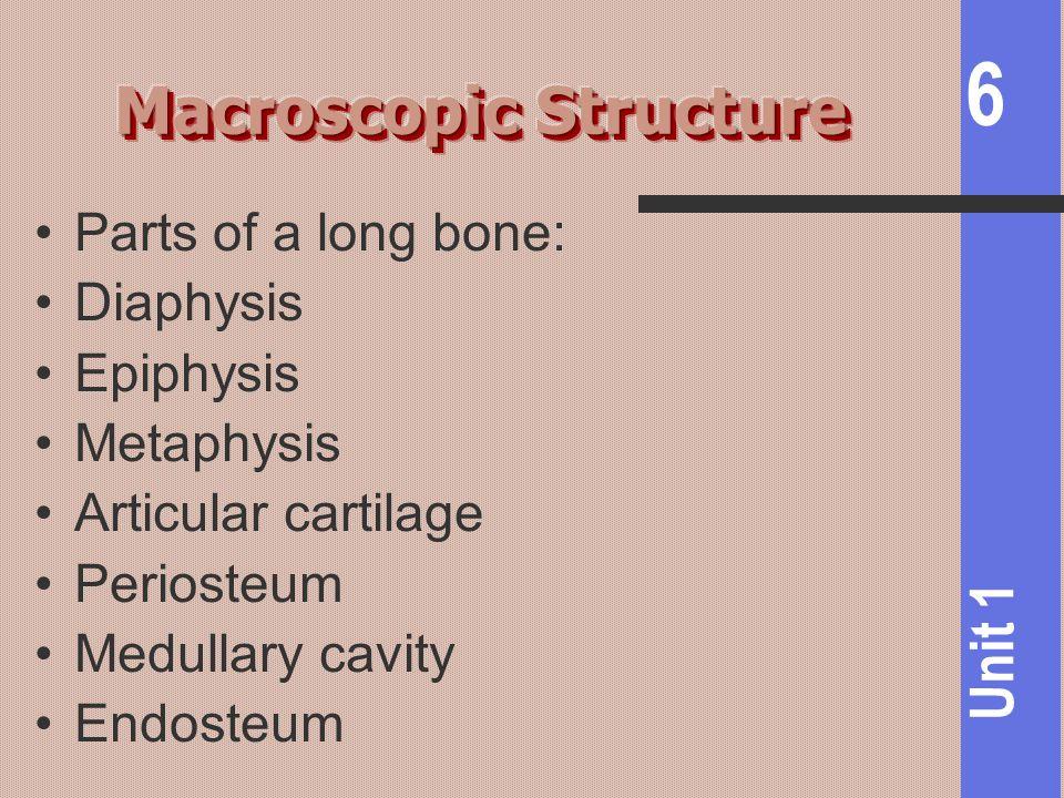 6 Unit 1 Parts of a long bone: Diaphysis Epiphysis Metaphysis Articular cartilage Periosteum Medullary cavity Endosteum
