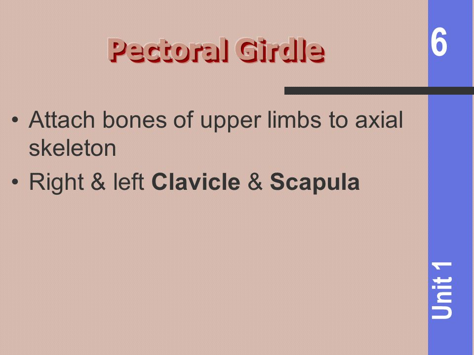 6 Unit 1 Attach bones of upper limbs to axial skeleton Right & left Clavicle & Scapula