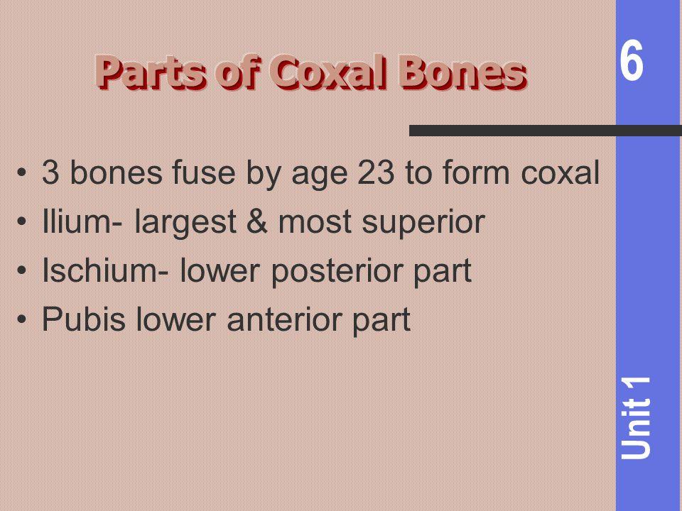 6 Unit 1 3 bones fuse by age 23 to form coxal Ilium- largest & most superior Ischium- lower posterior part Pubis lower anterior part