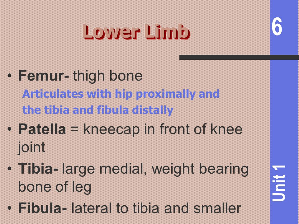 6 Unit 1 Femur- thigh bone Articulates with hip proximally and the tibia and fibula distally Patella = kneecap in front of knee joint Tibia- large med