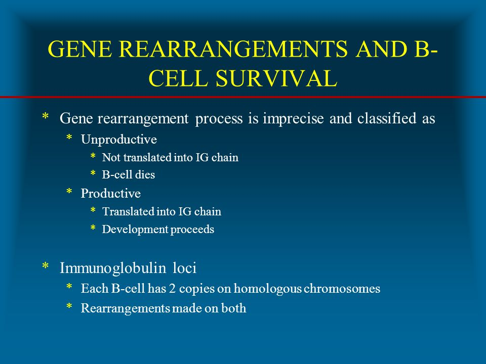GENE REARRANGEMENTS AND B- CELL SURVIVAL *Gene rearrangement process is imprecise and classified as *Unproductive *Not translated into IG chain *B-cel