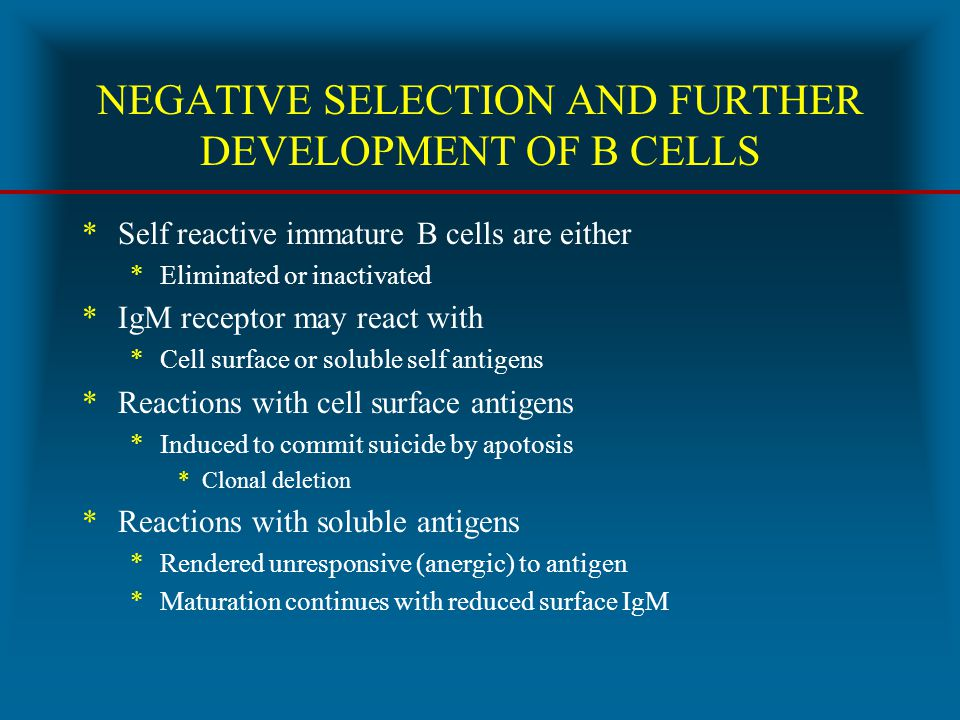NEGATIVE SELECTION AND FURTHER DEVELOPMENT OF B CELLS *Self reactive immature B cells are either *Eliminated or inactivated *IgM receptor may react wi