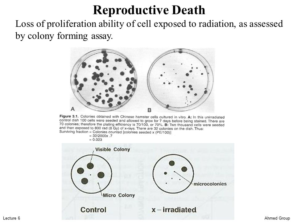 Ahmed Group Lecture 6 Reproductive Death Loss of proliferation ability of cell exposed to radiation, as assessed by colony forming assay.