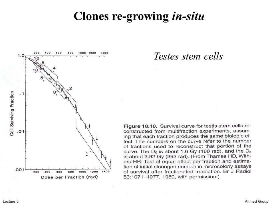 Ahmed Group Lecture 6 Testes stem cells Clones re-growing in-situ