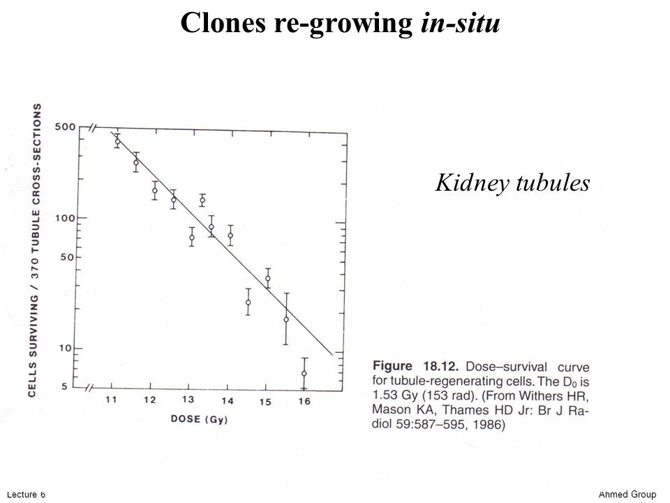 Ahmed Group Lecture 6 Kidney tubules Clones re-growing in-situ