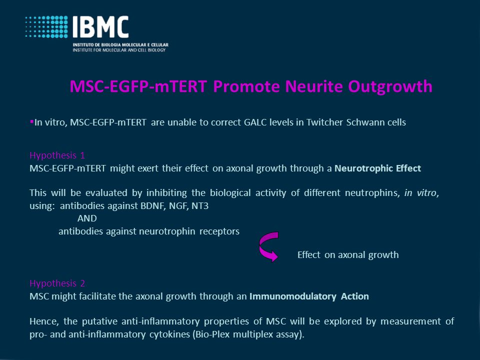 MSC-EGFP-mTERT Promote Neurite Outgrowth  In vitro, MSC-EGFP-mTERT are unable to correct GALC levels in Twitcher Schwann cells Hypothesis 1 MSC-EGFP-mTERT might exert their effect on axonal growth through a Neurotrophic Effect This will be evaluated by inhibiting the biological activity of different neutrophins, in vitro, using: antibodies against BDNF, NGF, NT3 AND antibodies against neurotrophin receptors Hypothesis 2 MSC might facilitate the axonal growth through an Immunomodulatory Action Effect on axonal growth Hence, the putative anti-inflammatory properties of MSC will be explored by measurement of pro- and anti-inflammatory cytokines (Bio-Plex multiplex assay).
