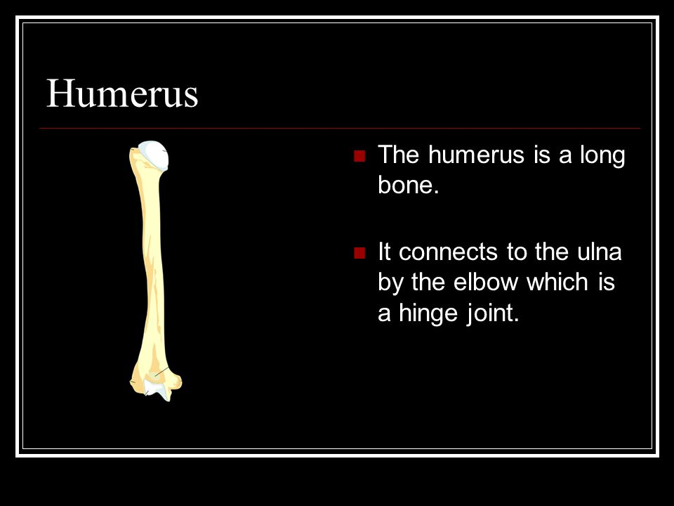 Humerus The humerus is a long bone. It connects to the ulna by the elbow which is a hinge joint.