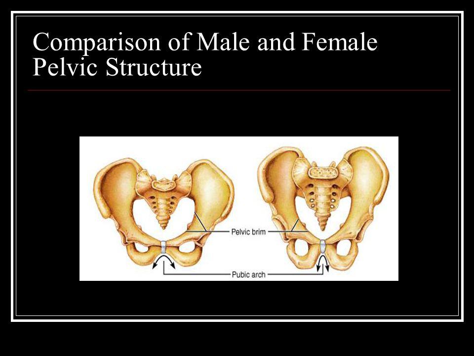Comparison of Male and Female Pelvic Structure