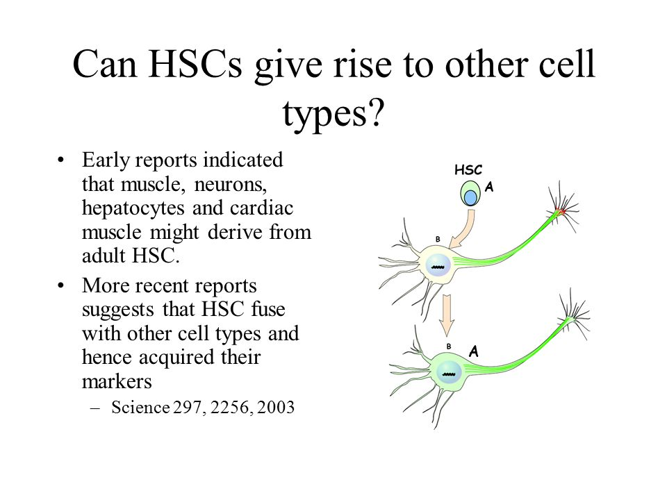 Can HSCs give rise to other cell types? Early reports indicated that muscle, neurons, hepatocytes and cardiac muscle might derive from adult HSC. More