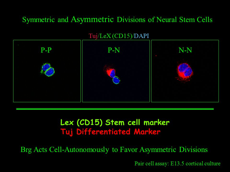 Pair cell assay: E13.5 cortical culture P-P Tuj/LeX (CD15)/DAPI P-NN-N Symmetric and Asymmetric Divisions of Neural Stem Cells Brg Acts Cell-Autonomously to Favor Asymmetric Divisions Lex (CD15) Stem cell marker Tuj Differentiated Marker
