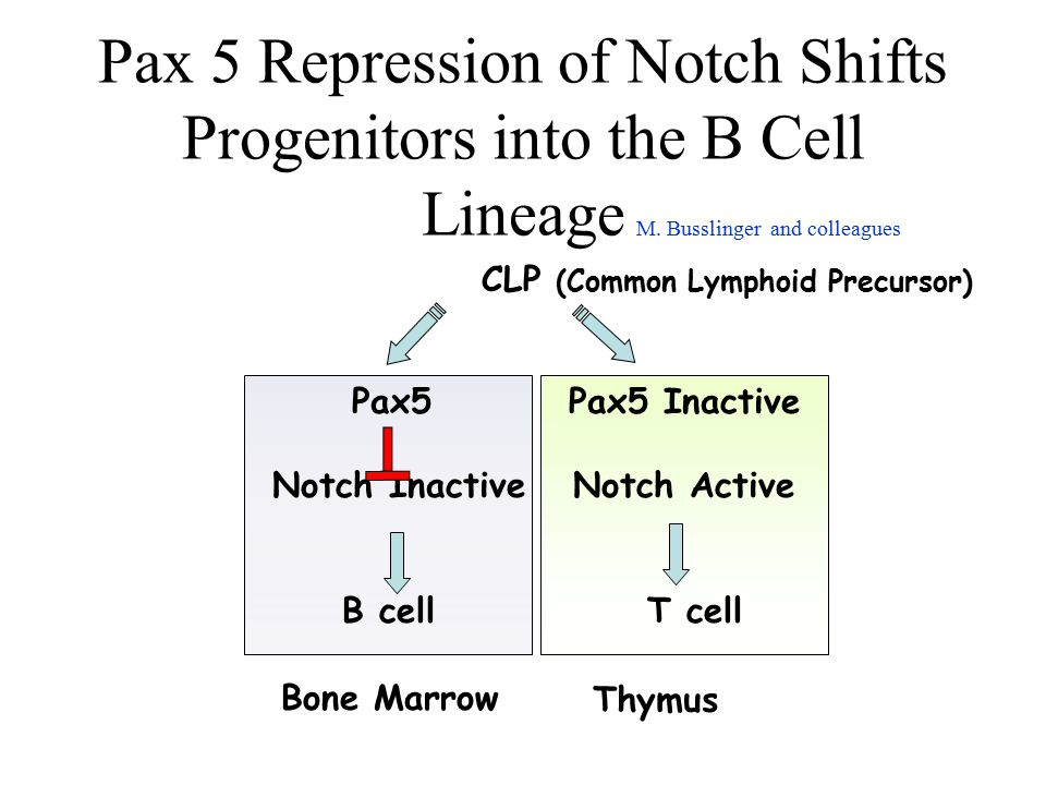 Pax 5 Repression of Notch Shifts Progenitors into the B Cell Lineage CLP (Common Lymphoid Precursor) B cellT cell Pax5 Notch Inactive Pax5 Inactive No