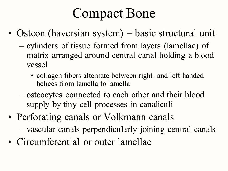 Compact Bone Osteon (haversian system) = basic structural unit –cylinders of tissue formed from layers (lamellae) of matrix arranged around central canal holding a blood vessel collagen fibers alternate between right- and left-handed helices from lamella to lamella –osteocytes connected to each other and their blood supply by tiny cell processes in canaliculi Perforating canals or Volkmann canals –vascular canals perpendicularly joining central canals Circumferential or outer lamellae