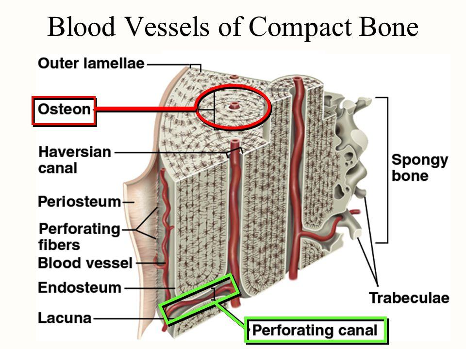 Blood Vessels of Compact Bone