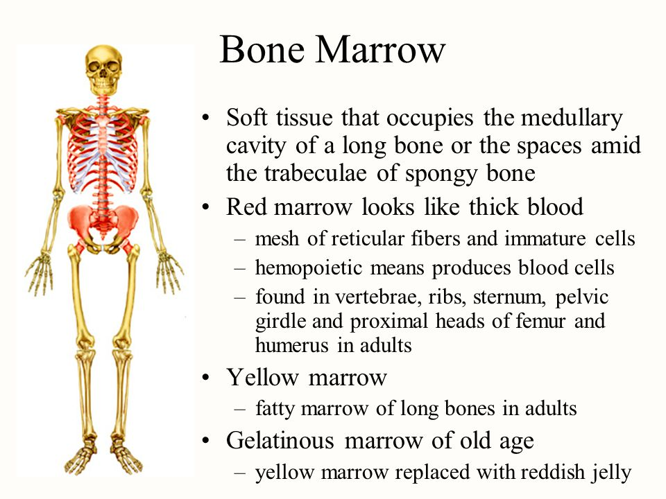 Bone Marrow Soft tissue that occupies the medullary cavity of a long bone or the spaces amid the trabeculae of spongy bone Red marrow looks like thick blood –mesh of reticular fibers and immature cells –hemopoietic means produces blood cells –found in vertebrae, ribs, sternum, pelvic girdle and proximal heads of femur and humerus in adults Yellow marrow –fatty marrow of long bones in adults Gelatinous marrow of old age –yellow marrow replaced with reddish jelly