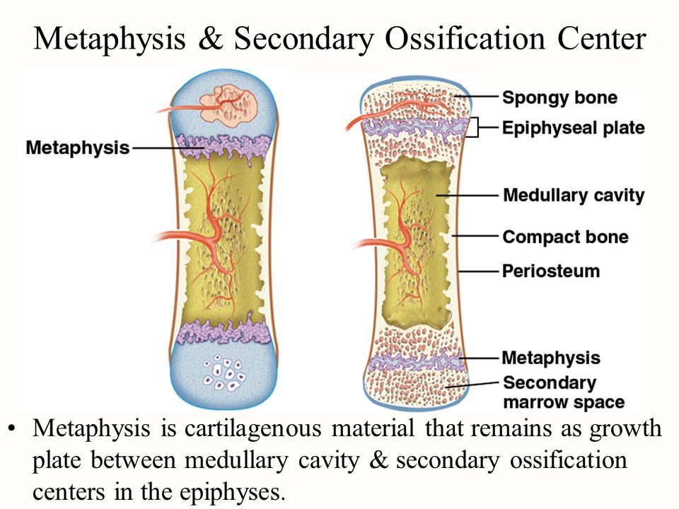 Metaphysis & Secondary Ossification Center Metaphysis is cartilagenous material that remains as growth plate between medullary cavity & secondary ossification centers in the epiphyses.