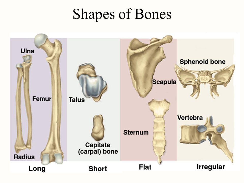 Shapes of Bones