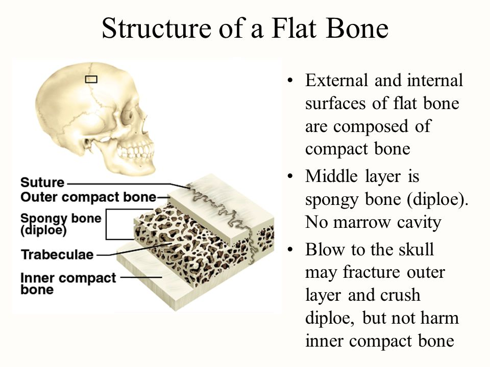 Structure of a Flat Bone External and internal surfaces of flat bone are composed of compact bone Middle layer is spongy bone (diploe).