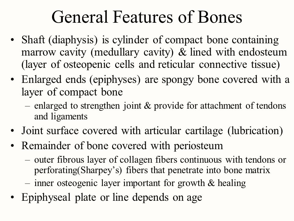General Features of Bones Shaft (diaphysis) is cylinder of compact bone containing marrow cavity (medullary cavity) & lined with endosteum (layer of osteopenic cells and reticular connective tissue) Enlarged ends (epiphyses) are spongy bone covered with a layer of compact bone –enlarged to strengthen joint & provide for attachment of tendons and ligaments Joint surface covered with articular cartilage (lubrication) Remainder of bone covered with periosteum –outer fibrous layer of collagen fibers continuous with tendons or perforating(Sharpey's) fibers that penetrate into bone matrix –inner osteogenic layer important for growth & healing Epiphyseal plate or line depends on age
