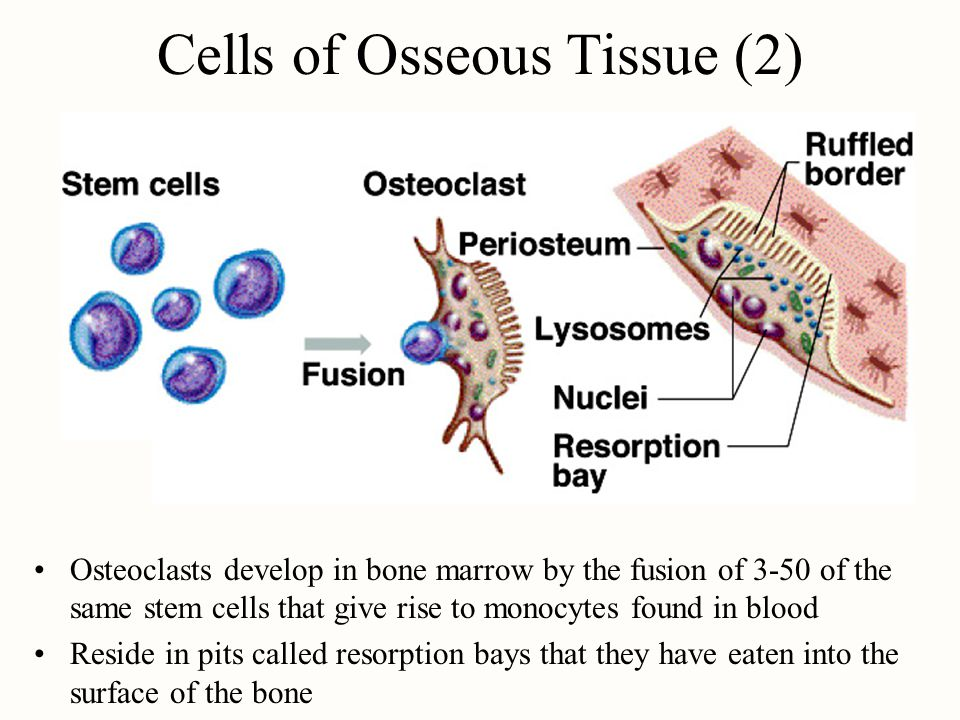 Cells of Osseous Tissue (2) Osteoclasts develop in bone marrow by the fusion of 3-50 of the same stem cells that give rise to monocytes found in blood Reside in pits called resorption bays that they have eaten into the surface of the bone