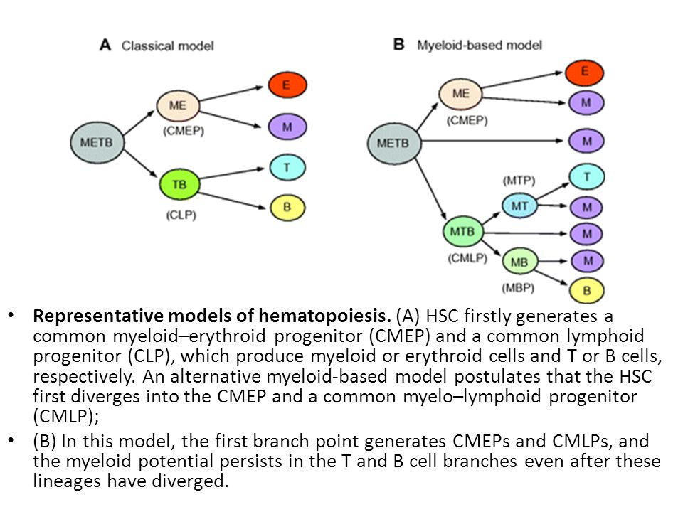 Representative models of hematopoiesis.