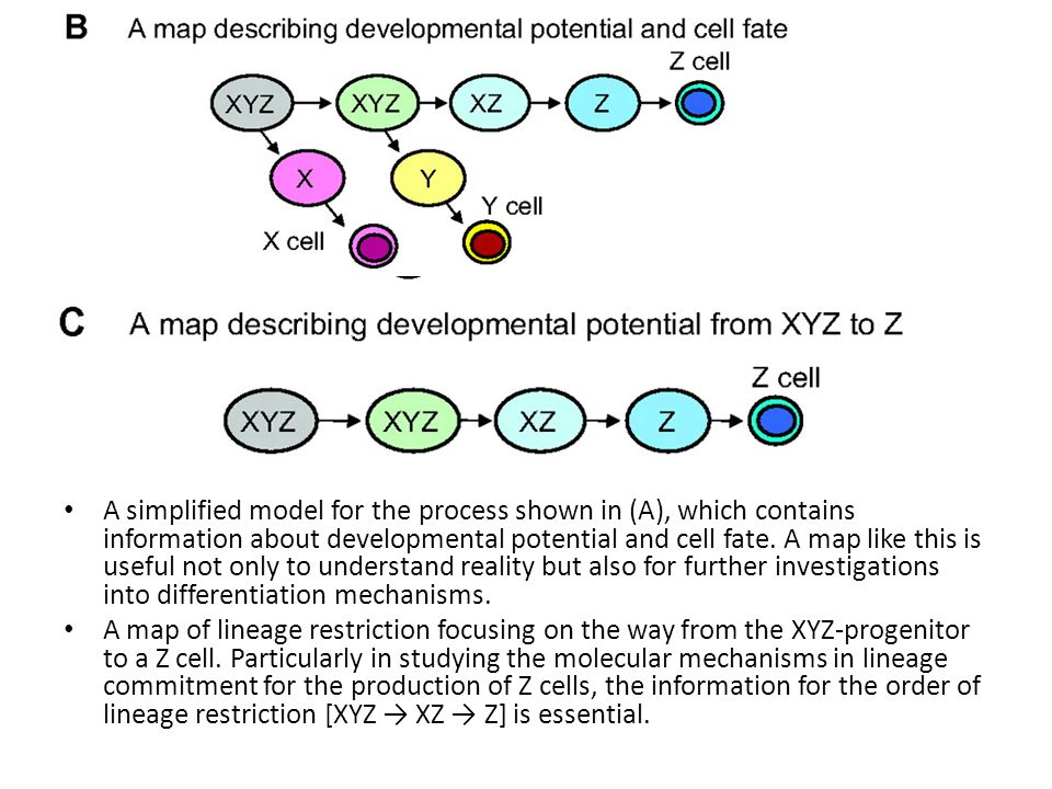 A simplified model for the process shown in (A), which contains information about developmental potential and cell fate.
