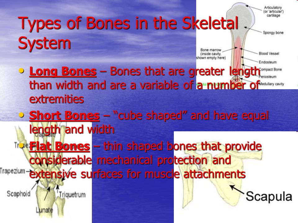 Types of Bones in the Skeletal System Long Bones – Bones that are greater length than width and are a variable of a number of extremities Long Bones –