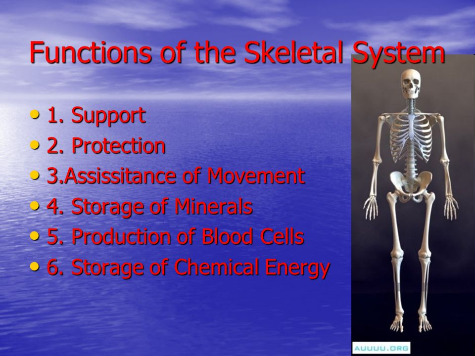 Functions of the Skeletal System 1. Support 1. Support 2. Protection 2. Protection 3.Assissitance of Movement 3.Assissitance of Movement 4. Storage of