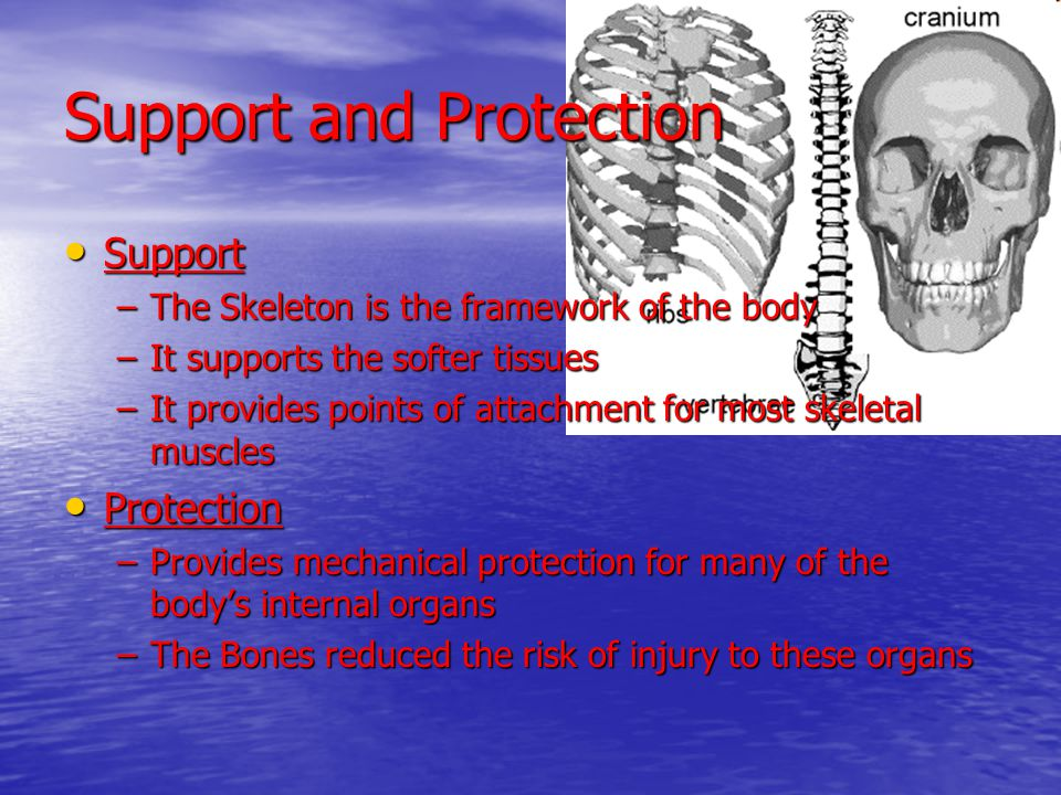 Support and Protection Support Support –The Skeleton is the framework of the body –It supports the softer tissues –It provides points of attachment fo