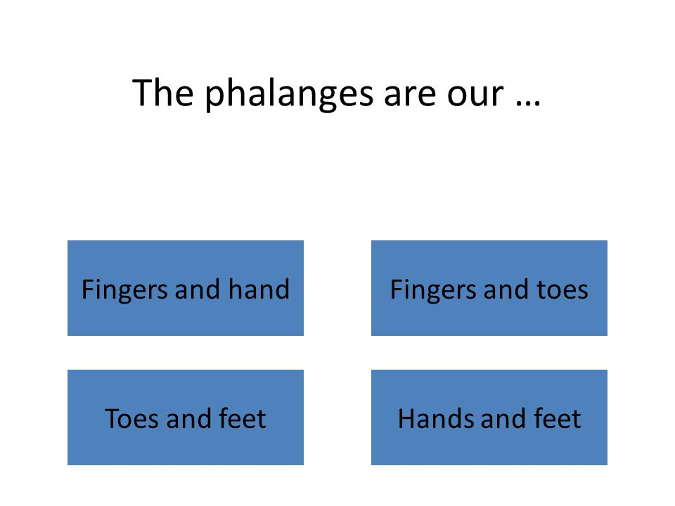 The phalanges are our … Fingers and handFingers and toes Toes and feetHands and feet