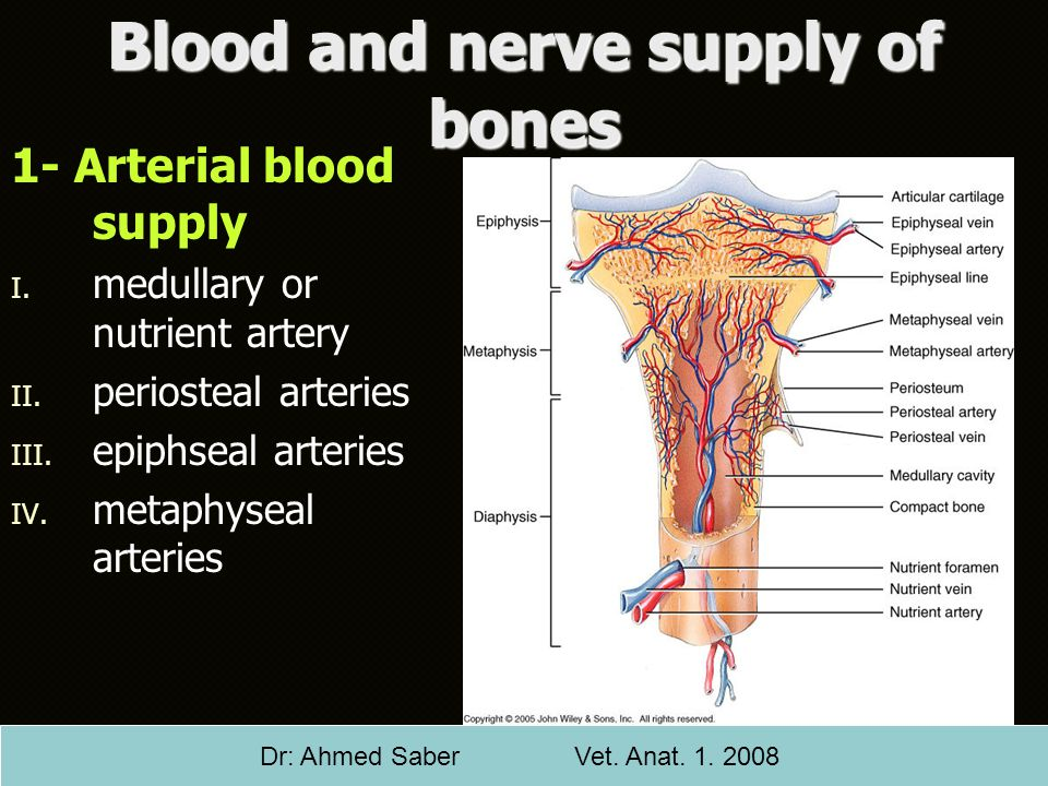 Blood and nerve supply of bones 1- Arterial blood supply I. I. medullary or nutrient artery II. II. periosteal arteries III. III. epiphseal arteries I