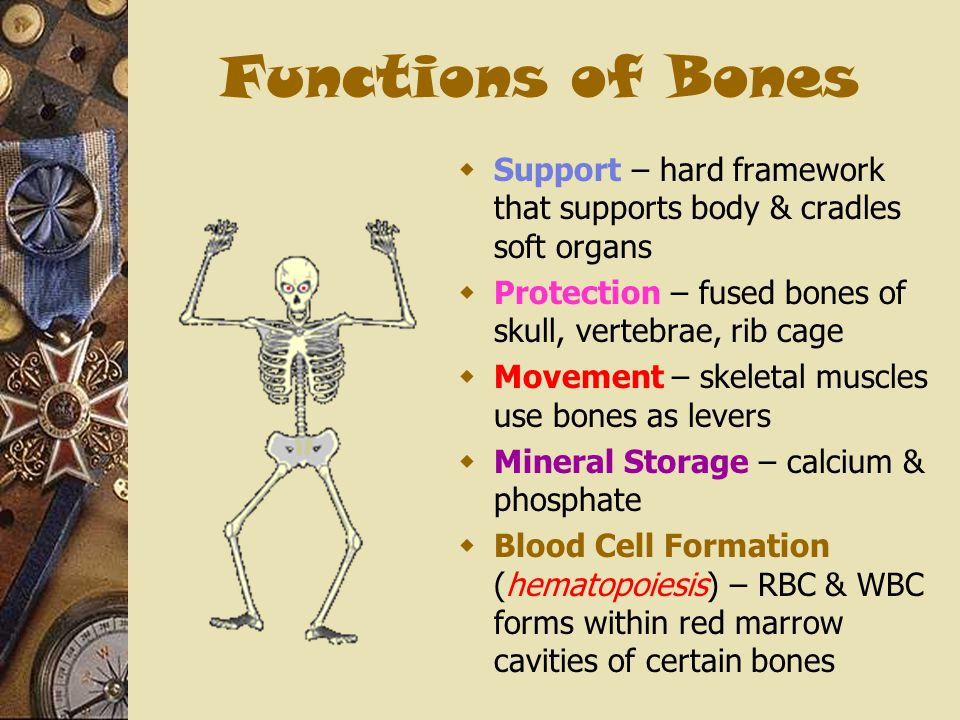 Functions of Bones  Support – hard framework that supports body & cradles soft organs  Protection – fused bones of skull, vertebrae, rib cage  Move