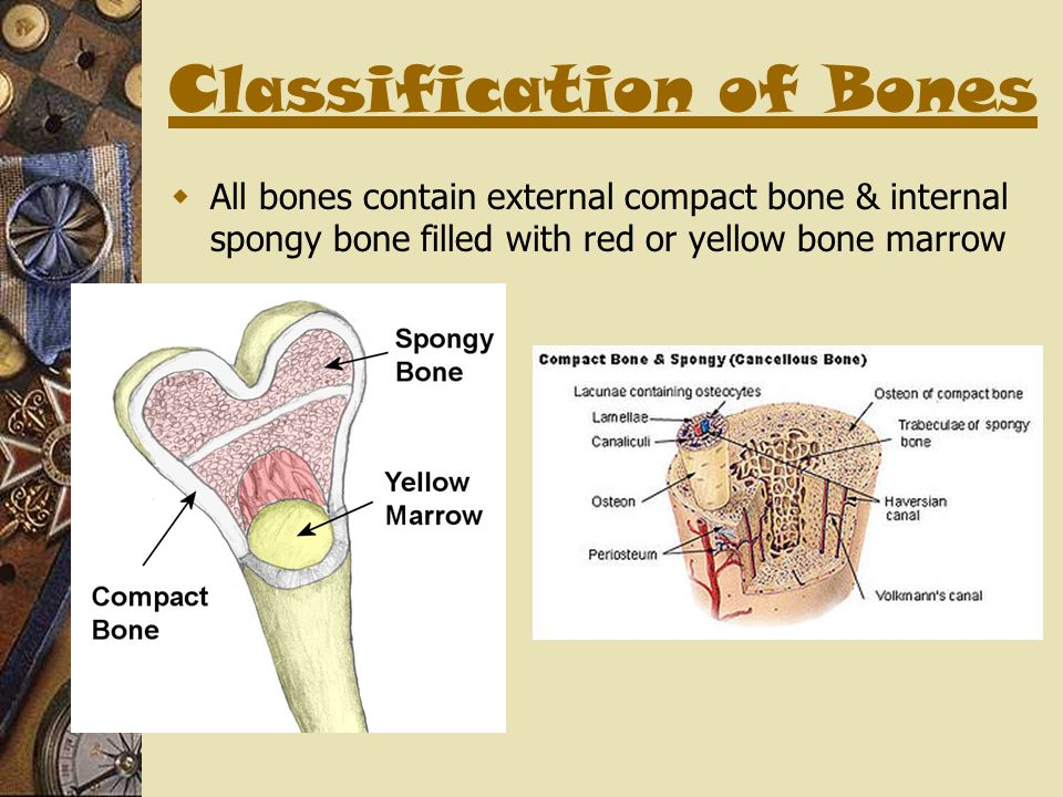 Classification of Bones  All bones contain external compact bone & internal spongy bone filled with red or yellow bone marrow