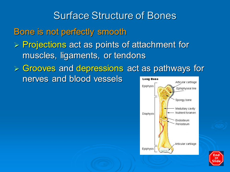 Surface Structure of Bones Bone is not perfectly smooth  Projections act as points of attachment for muscles, ligaments, or tendons  Grooves and dep