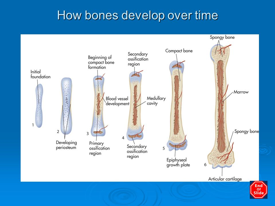 How bones develop over time