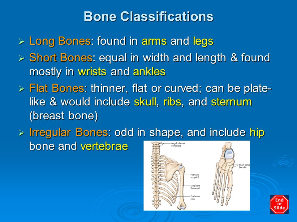 Bone Classifications  Long Bones: found in arms and legs  Short Bones: equal in width and length & found mostly in wrists and ankles  Flat Bones: t